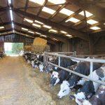 Vache laitière - Naturapôle - Yvetot-Seine maritime